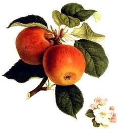 Apfelschnaps Frankreich